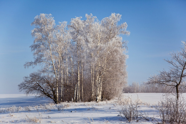 Зимние березы