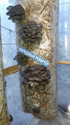 Вешенки, мои грибочки