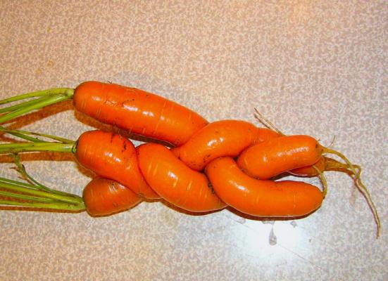 Кружева морковные