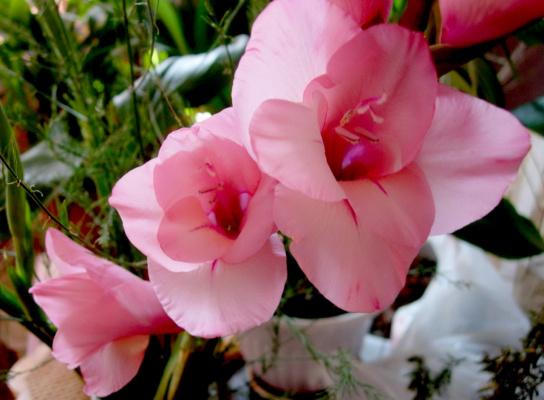 Гладиолус розовый...