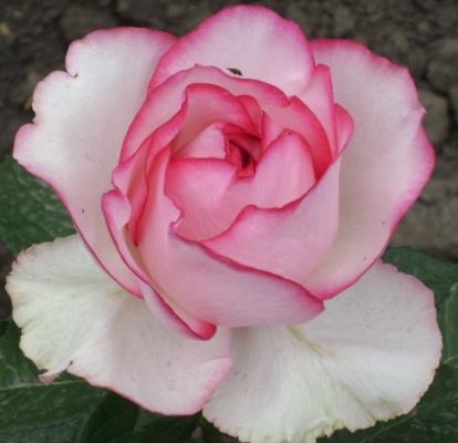 роза Дольче -вита