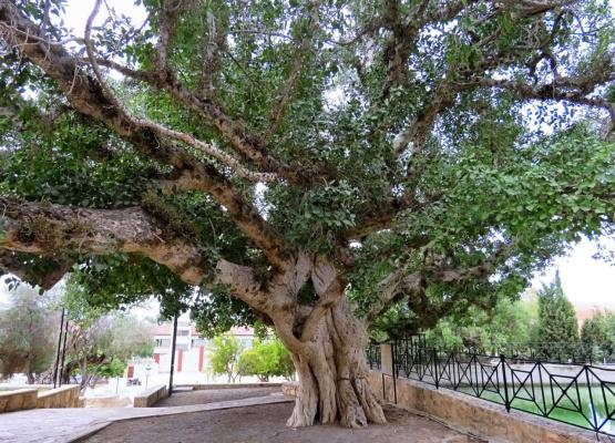 Как называется это дерево и каким образом оно упоминается в Библии? - 2 снимка