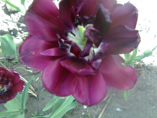 Мой новый черный тюльпан