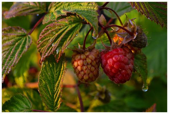Плоды лета.Малина дозревает.