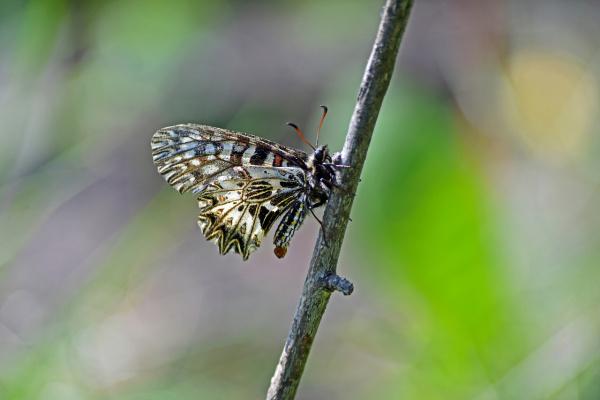 Поликсена  (Zerynthia polyxena)