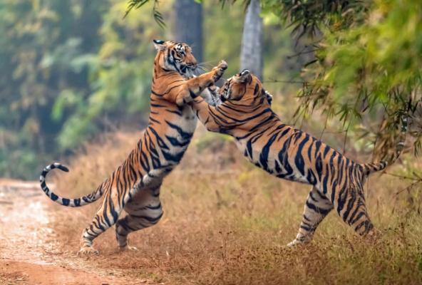 Индия, Махараштра. Два молодых тигра играют друг с другом в национальном парке Тадоба, крупнейшем заповеднике тигров в Махараштре. Тадоба — один из старейших индийских заповедников и пристанищ бенгальского тигра.