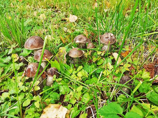 Ой, грибы , грибы , грибы !