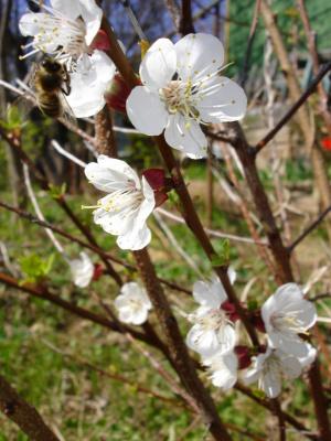 Шмель в цветке
