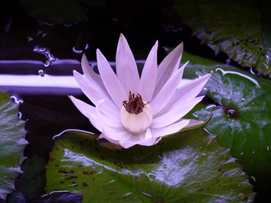 цветок нимфеи