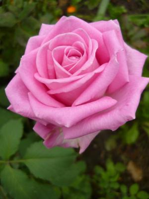 Розовая.