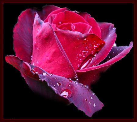 Роза в капельках росы.