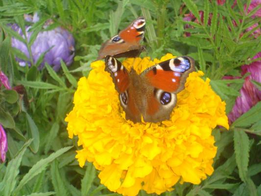 уже две бабочки на один цветок