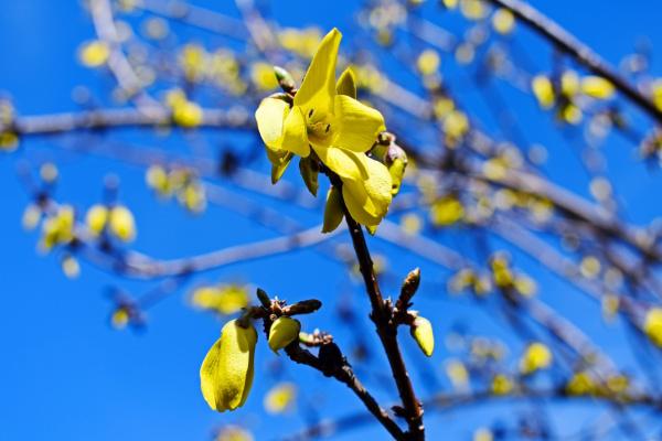 Фарзиции цветение