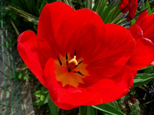 ...Красныетюльпаны, аромат весны...