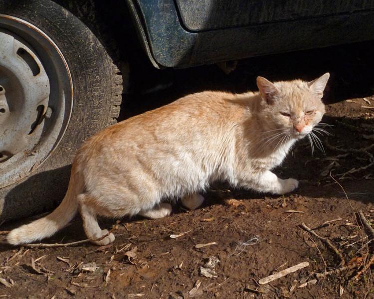 Кремовый дворовый кот крадётся возле машины