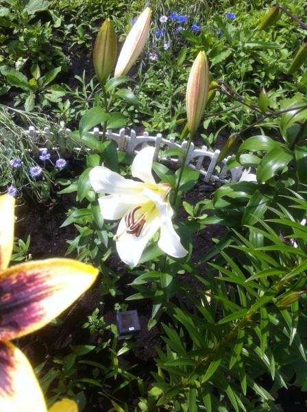 мои лилии